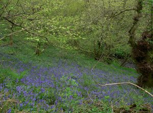 spring woodland in Shropshire